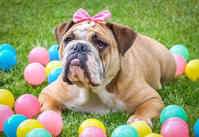 angol bulldog rossz lehelet