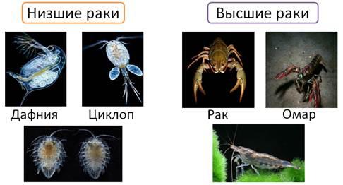 szalagféreg skorpió)