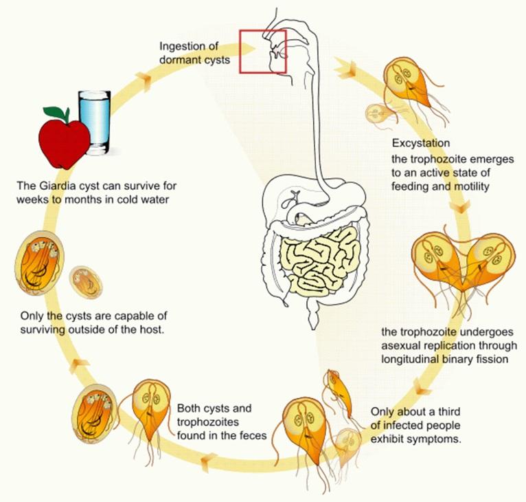 giardiasis symptoms human)