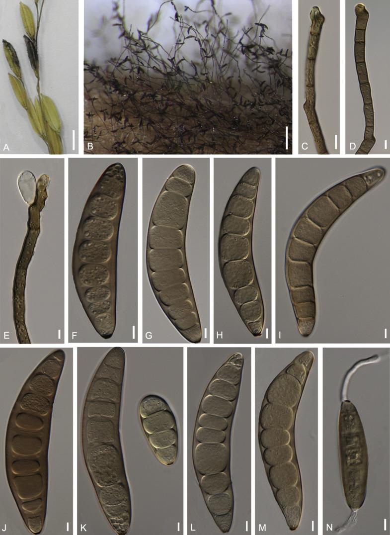 helminthosporium oryzae rizs)
