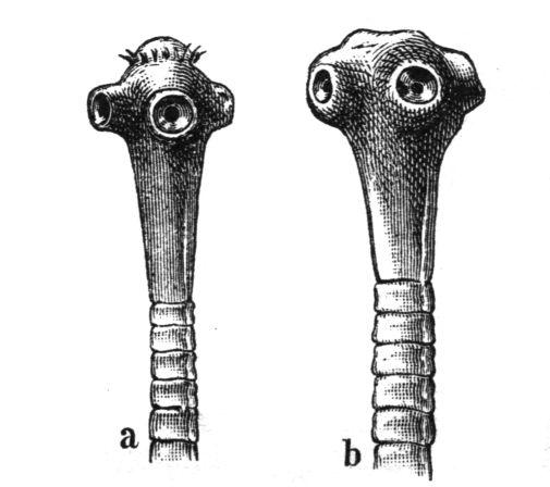 mi a neve a szarvasmarha szalagféreg lárvájának