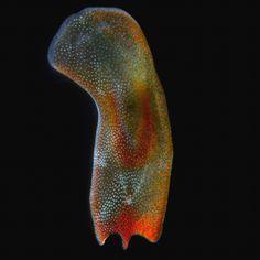 platyhelminthes platyzoa