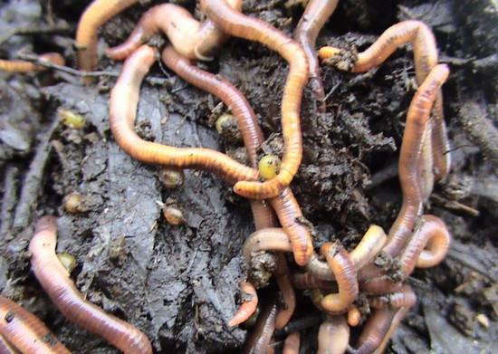 ahol a pinworms tojásokat toj a szájból virágszaggal borított nyelv