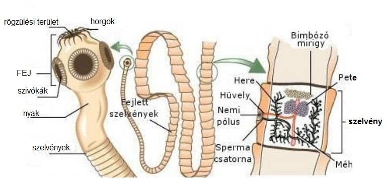 Fonalféreg fertozes tünetei, Tartalomjegyzék