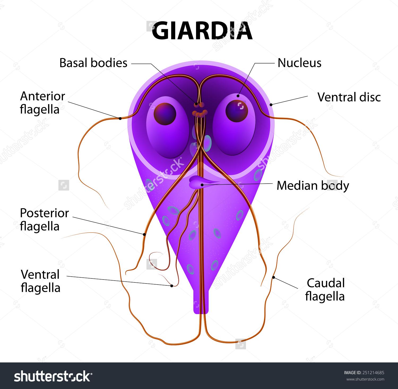 Giardia parazita kezelés)