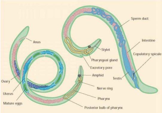 Enterobiosis témák - Makalah hewan nemathelminthes