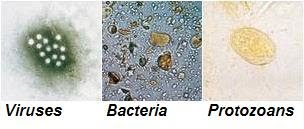 pinworms protozoa)