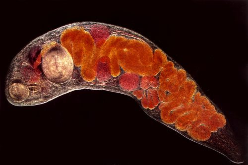 enterobiosis ascariasis hookworm necatorosis)