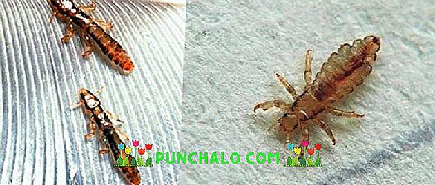 Altajzi fű parazitákból