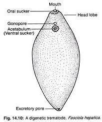 platyhelminthes diagram