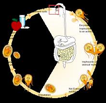 giardia reproduction férgek gyógyszer megelőzés céljából