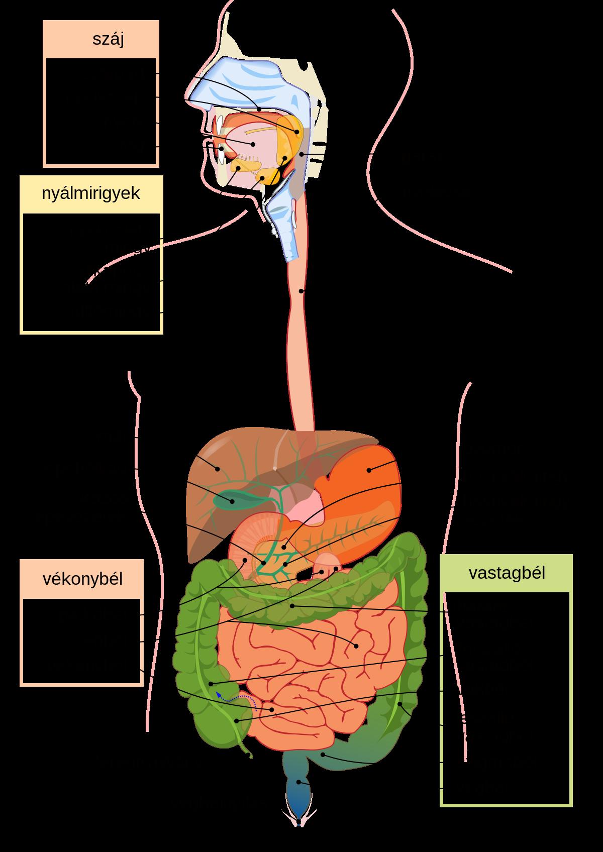 paraziták a vastagbélben és a vékonybélben