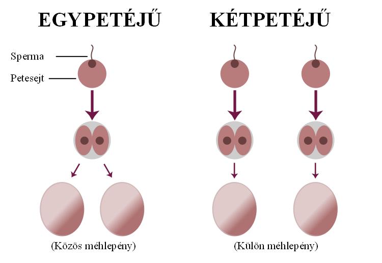 kerekférgek petesejtek fejlődése)