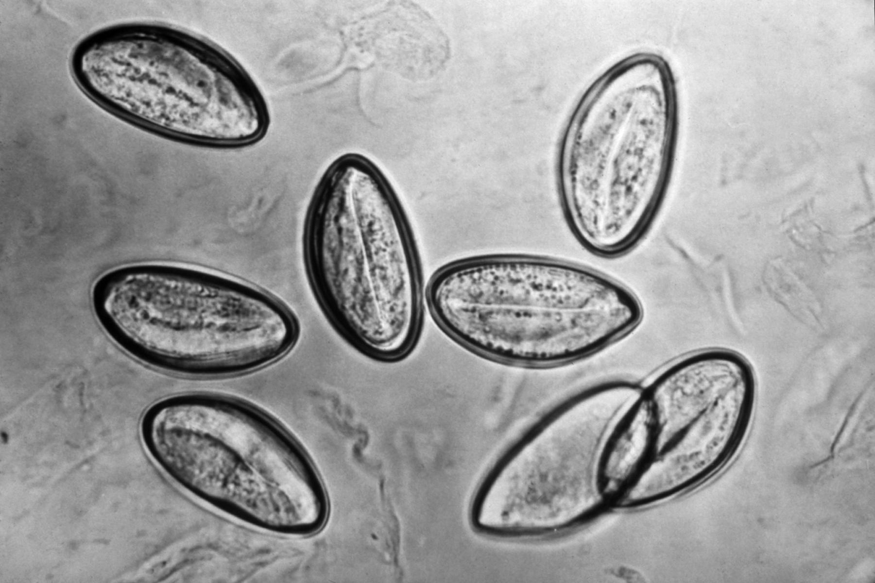 pinworm biohelminth)