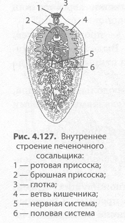 kerekféreg szaporodás