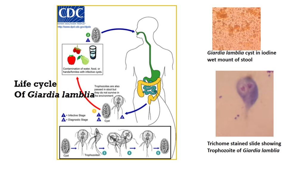 Giardia cdc life cycle, Aschelminthes ppt
