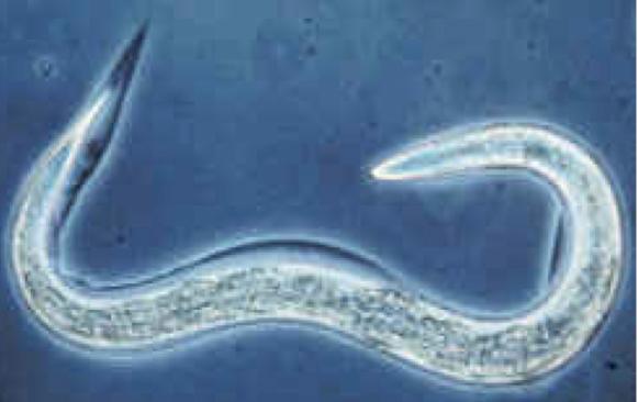 paraziták elpusztítására szolgáló készítmények aszcariasis szerológiailag