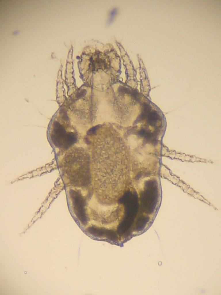 cuterebra paraziták