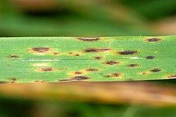 helminthosporium sativum sintomas)