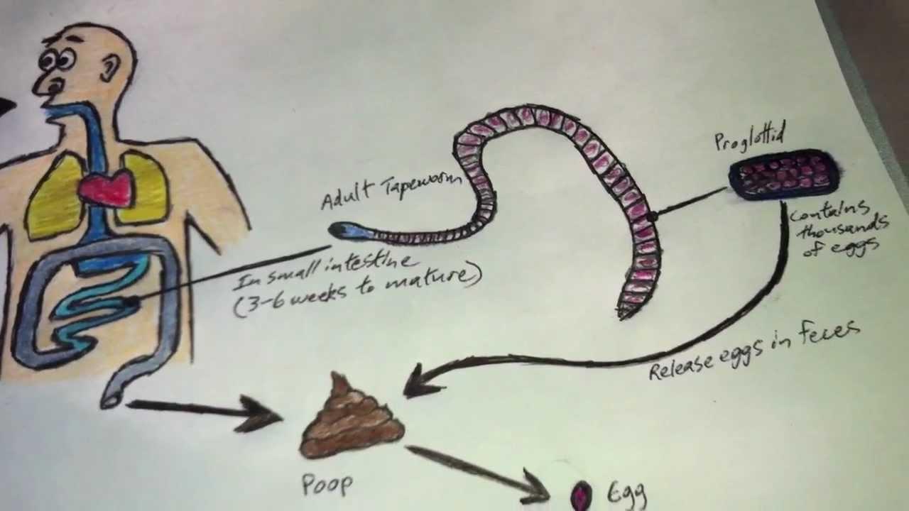 Diphyllobothriasis átviteli mechanizmus