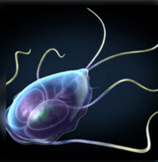 parazita féreg ciklus