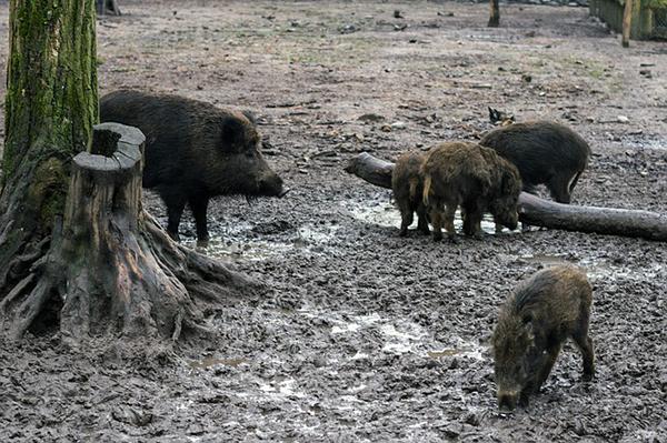 A vaddisznóhús valós veszélyei