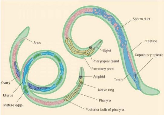 kelas dalam filum nemathelminthes)