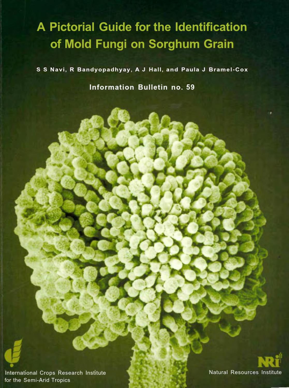 helminthosporium sorghicola