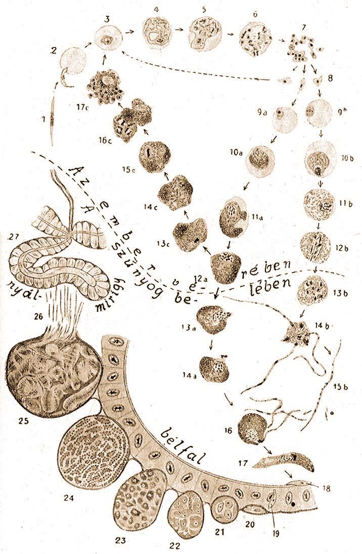 a malária plazmodium magja)