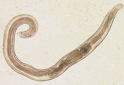 Biológia és orvostudomány Pinworms serdülők kezelésében
