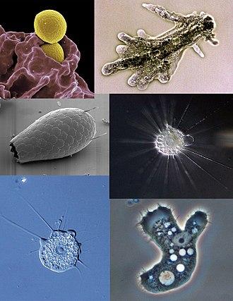 dysenteric améba parazita