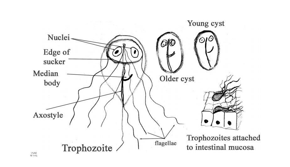 giardia cysts are able to withstand)