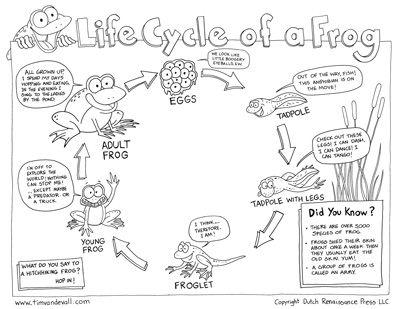 Szarvasmarhacsap életciklus rajza
