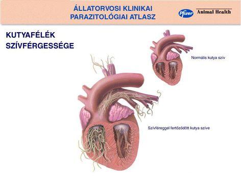 A szívférgesség /Dirofilariosis/