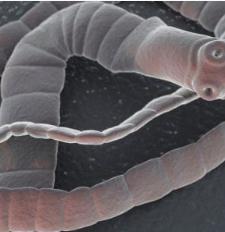 szarvasmarha szalagféreg parazita jelei