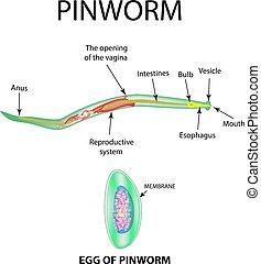 pinworm hólyag)