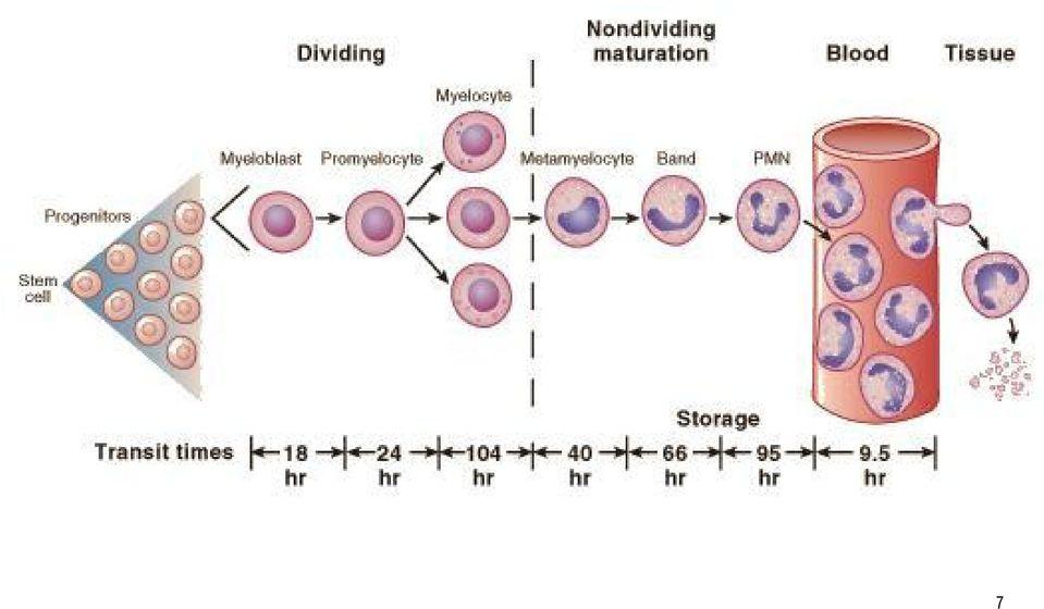 leukocyták a kenetben a férfiak normál táblázatában