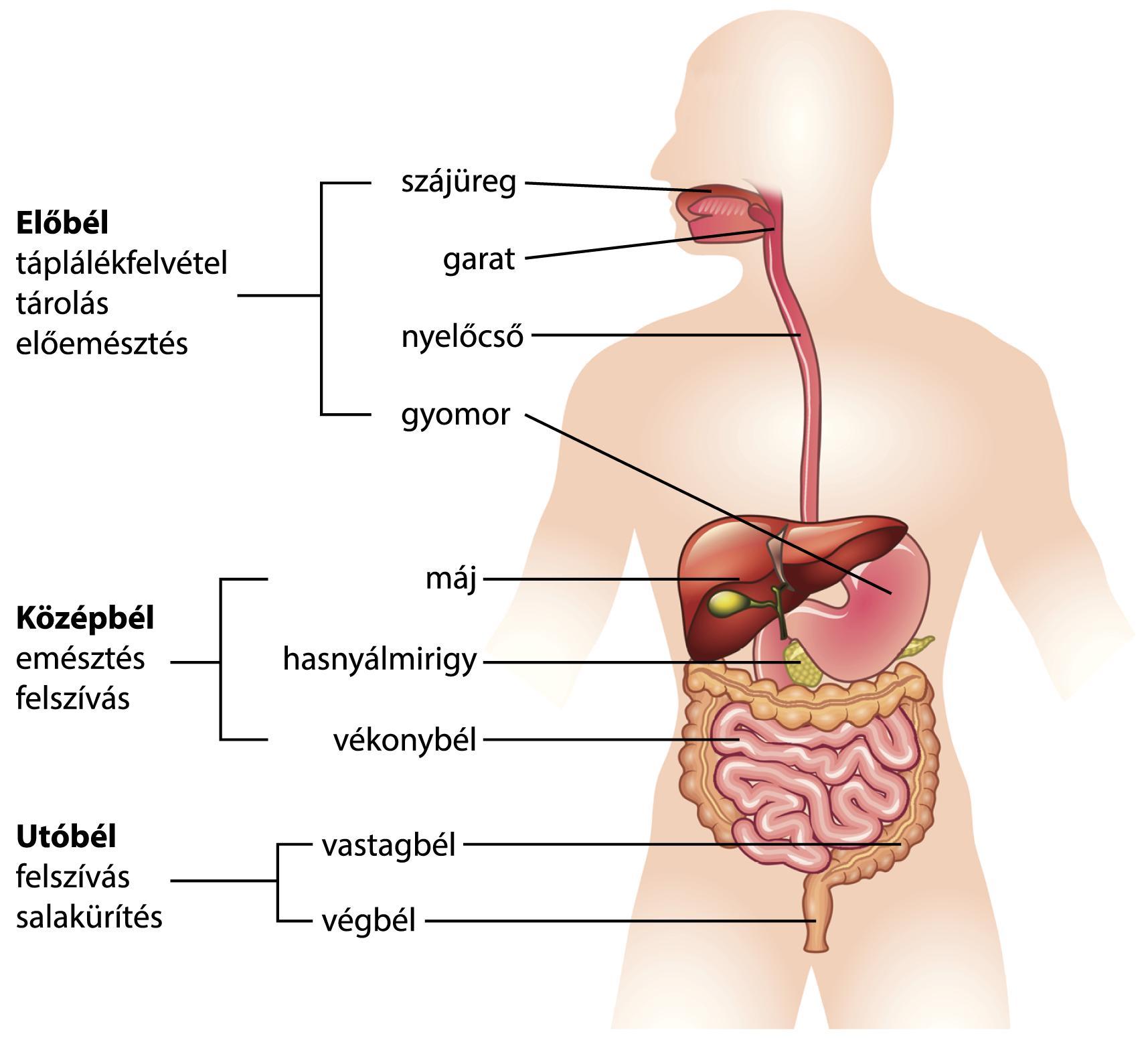 Epe szaga a szájból hogyan kell kezelni, Halitózis - májszag a szájból