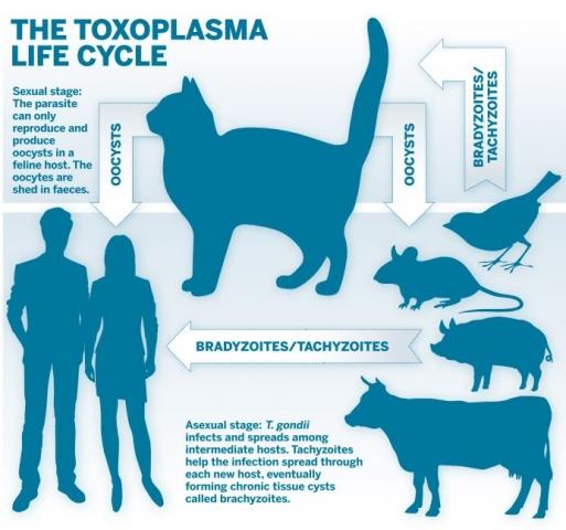 Toxoplasmosis - Tünetek, kezelés és megelőzés