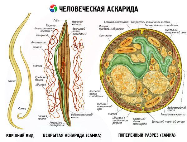 aszcariasis ciklus