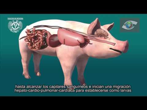 A giardiasis laboratóriumi diagnosztizálása az alábbiakon alapszik kerek féreg húsban