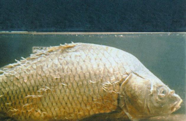 a halakban élő paraziták a