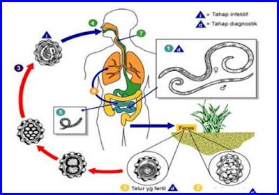 siklus reproduksi nemathelminthes