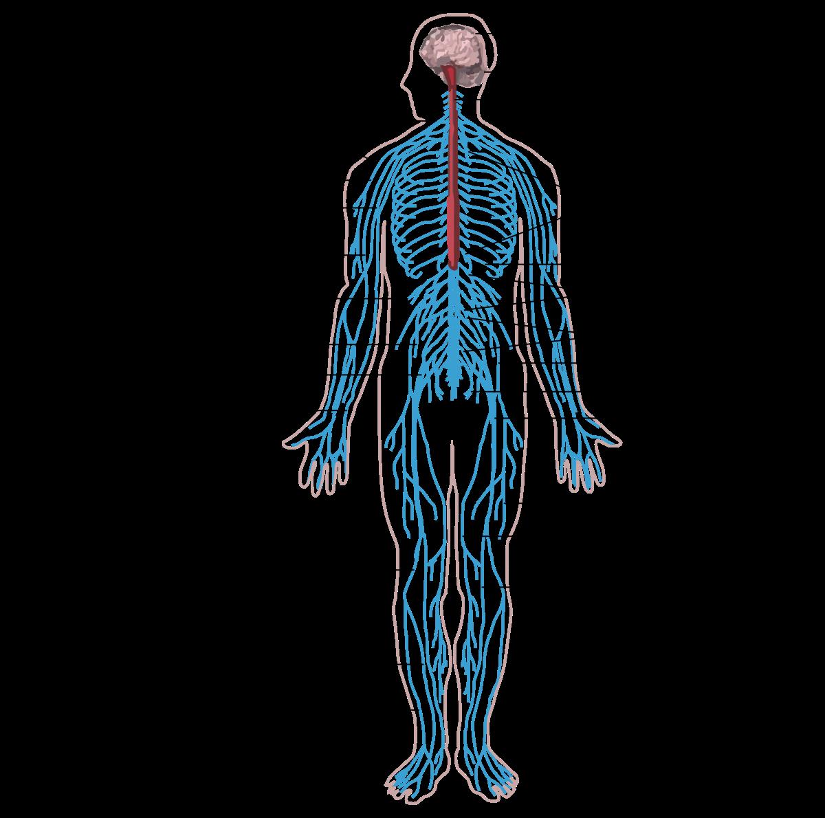 kerekféreg szervei