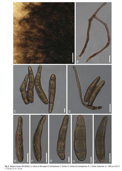 helminthosporium sorghicola)