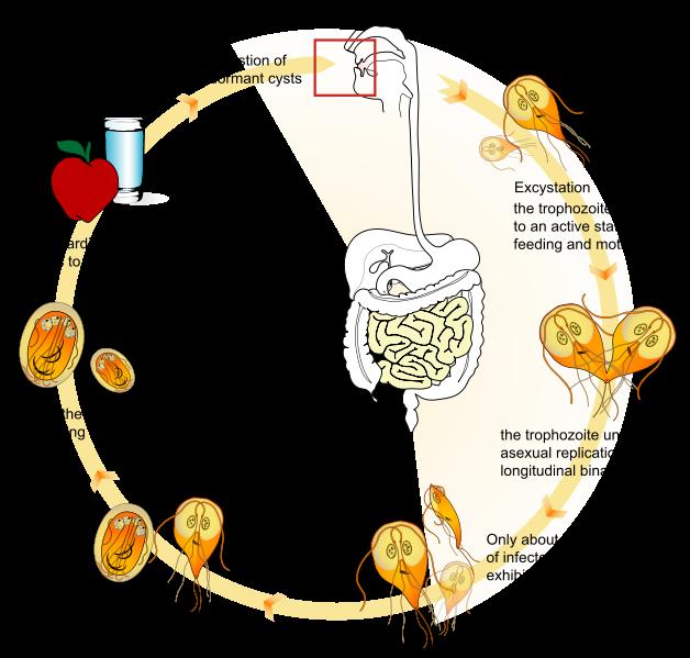 Hozzávetőleges diétás menü a giardiasis számára