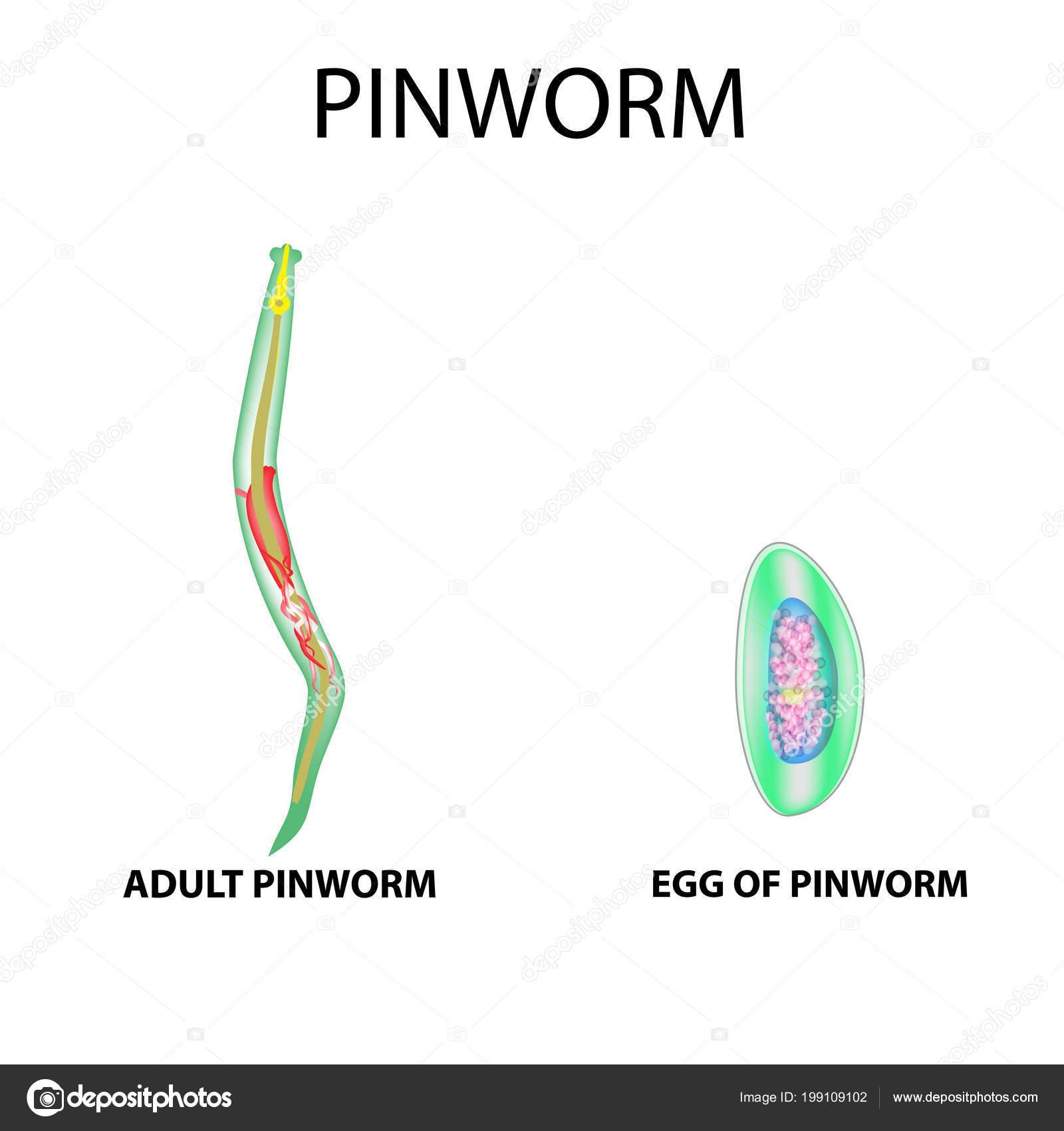 Pinworm rövid leírása, A pinworm életciklusa - Férgek May