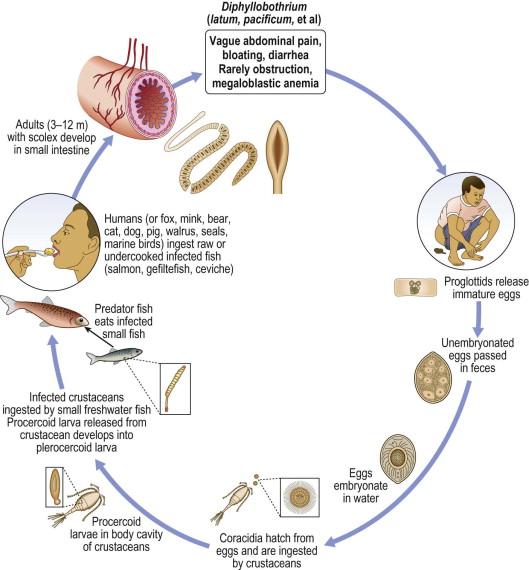 a diftillobothriasis széles szalag szisztematikus helyzet