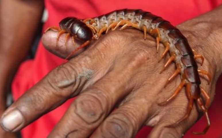 a szarvasmarha szalagféreg parazitizál a belekben férgek paraziták táblája