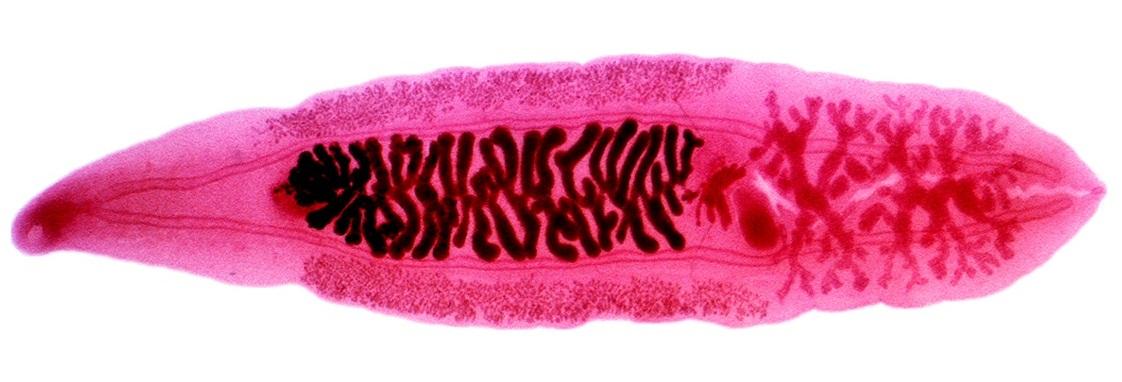 emberi parazita ágens)